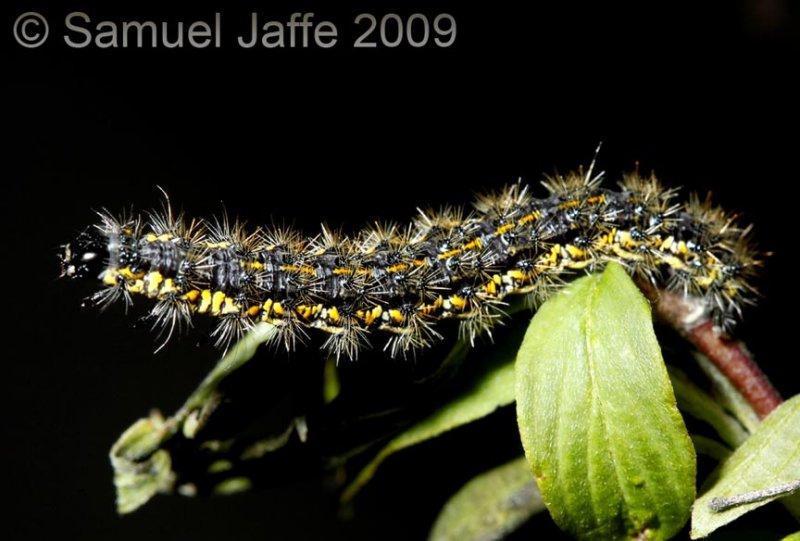 Haploa sp.clymene? - Tigermoth