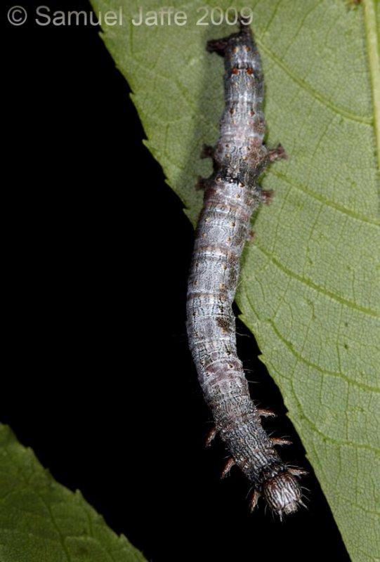 Catocala paleogama - Oldwife Underwing