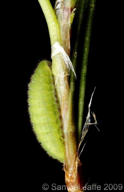 Lycaena phlaeas - American Copper
