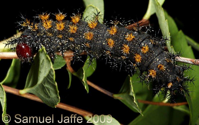 Hemileuca lucina - New England Buck Moth