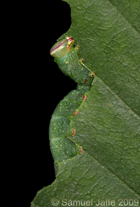 Saddled Prominent - Heterocampa guttivitta