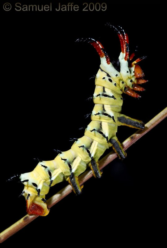 Citheronia regalis - Hickory Horned Devil (no longer in mass!)