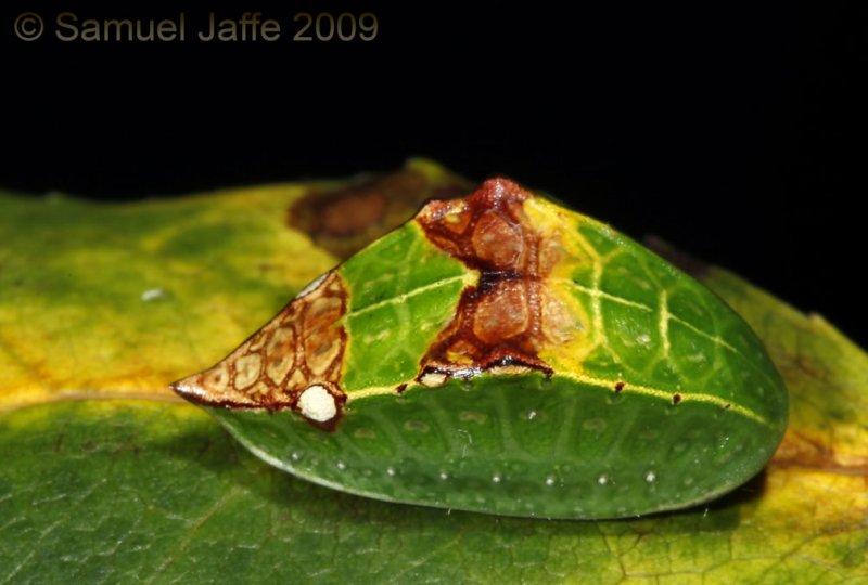 Prolimacodes badia - Skiff Moth