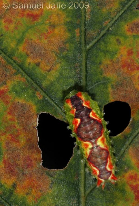 Adoneta spinuloides - Purple-crested Slug Moth
