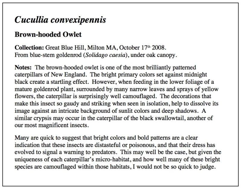 Brown-hooded Owlet Essay