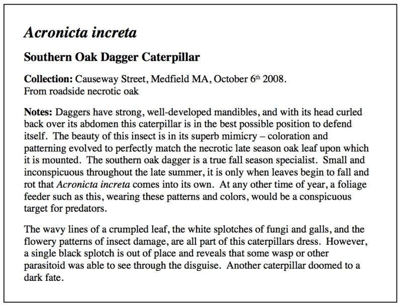 Oak Dagger Essay