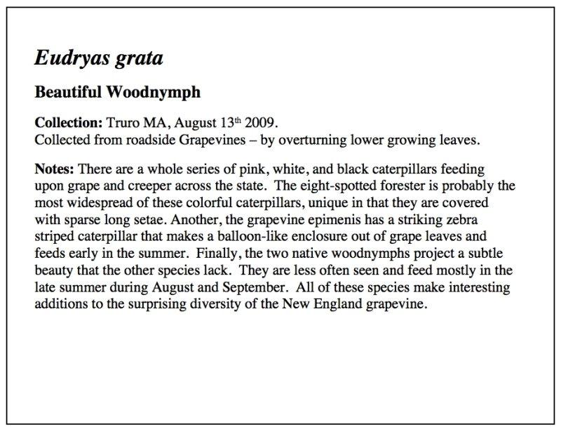 Woodnymph Essay