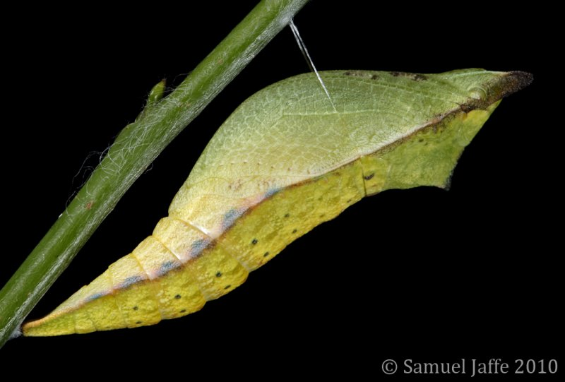 Papilio troilus - Spicebush Chrysalis