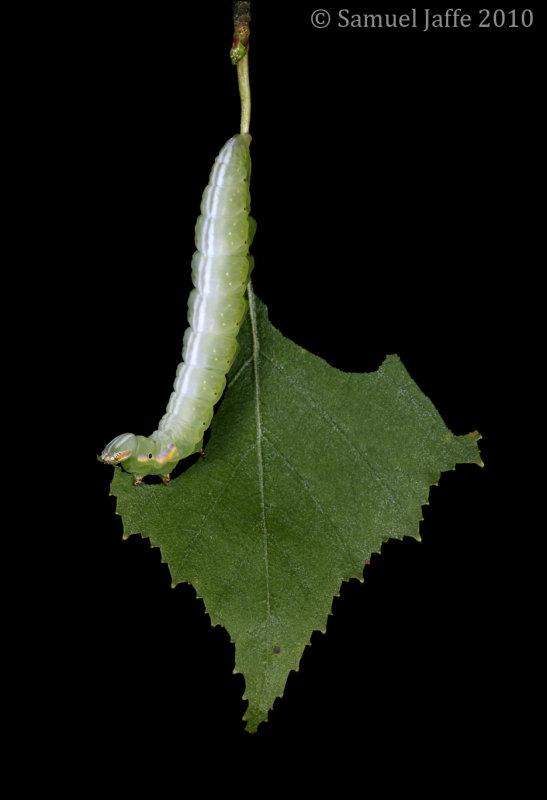 Peridea ferruginea - Chocolate Prominent