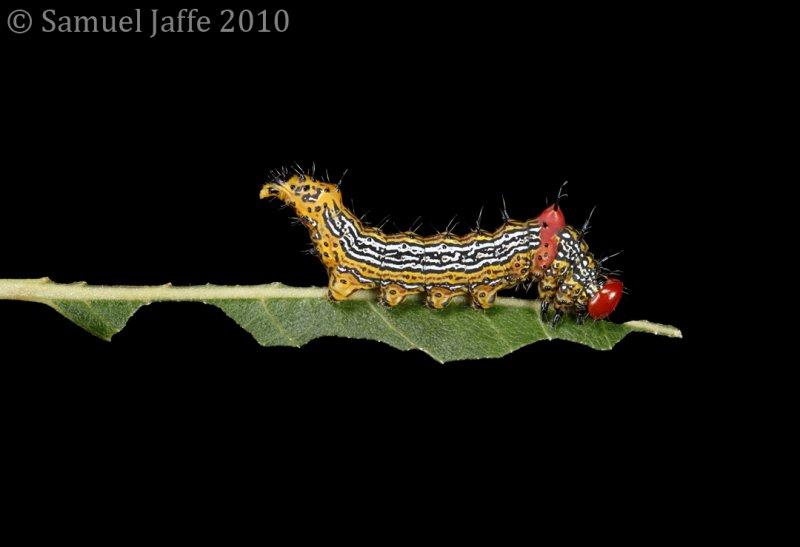 Schizura concinna - Red Hump Caterpillar