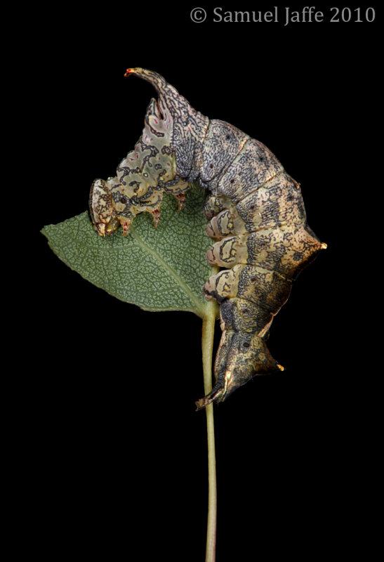 Oligocentria semirufescens - Red-washed Prominent