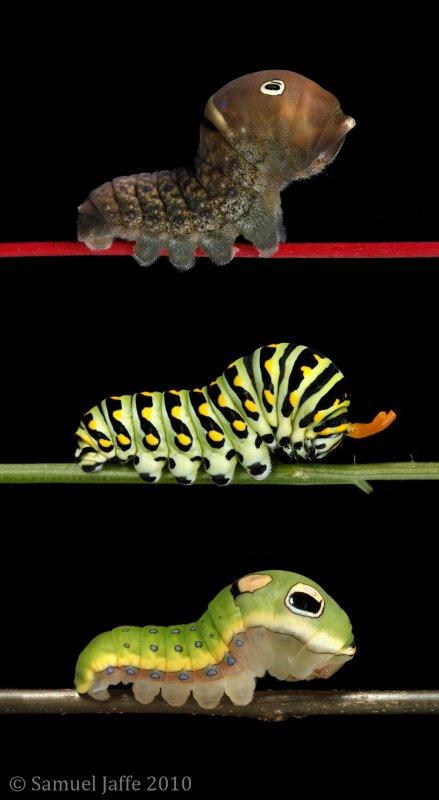 Swallowtails 21x40