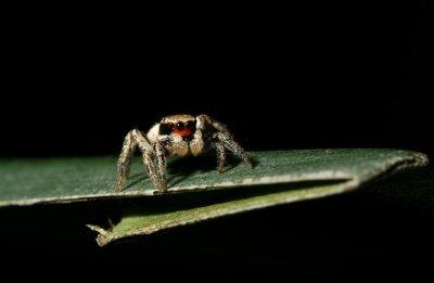 Habronattus sp. (Red-faced Jumping Spider)