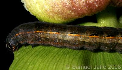 Spodoptera species (Armyworm)