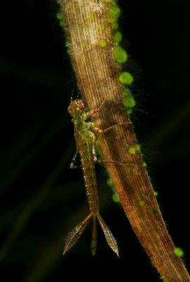Damselfly Larvae Sp1