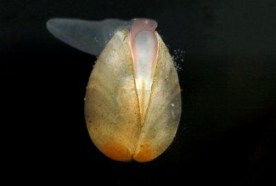 Freshwater Microclam