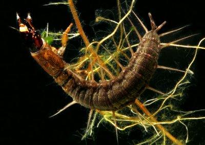 Chauliodes species - Hellgrammite