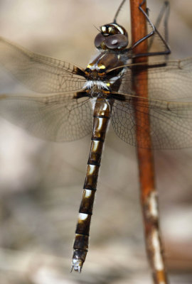 Stream Cruiser Dragonfly