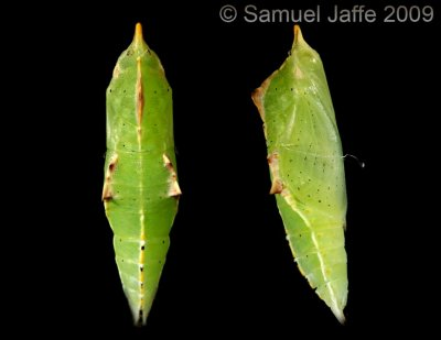 Pieris rapae - Cabbage White Chrysalis