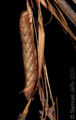 Amphion floridensis - Nessus Sphinx