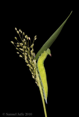 Northern Pearly Eye Grass