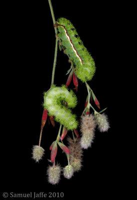 Automeris Io - Io Silk Moth