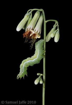 Wild Lettuce 21x31