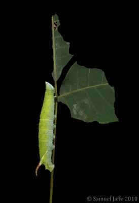 Amorpha juglandis - Walnut Sphinx