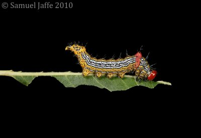 Schizura concinna - Red Hump Caterpillar