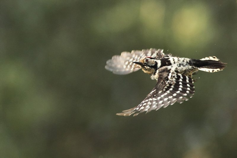 Lesser Spotted Woodpecker Picoides minor