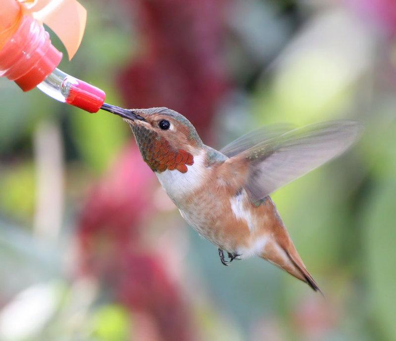 Hummingbird, Allens