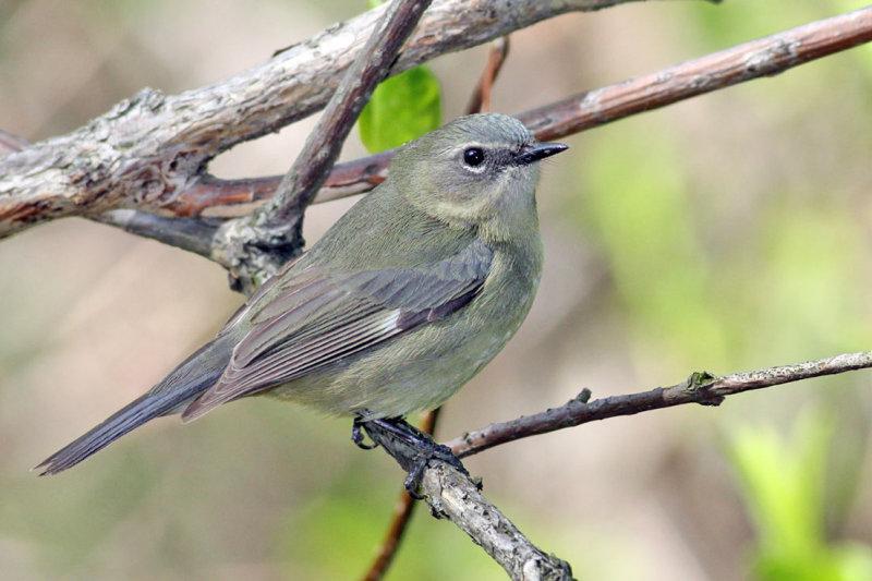 Black-throated blue Warbler, female