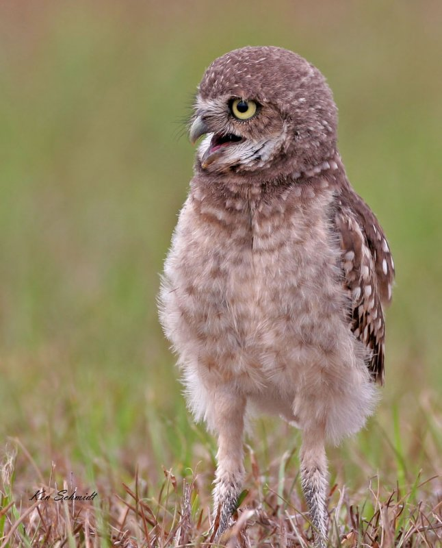 Young Burrowing Owl with its baby fur.