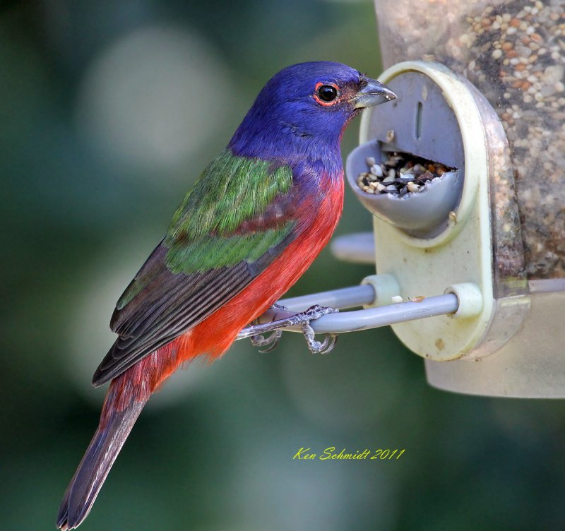 Male Painted Bunting at my feeder
