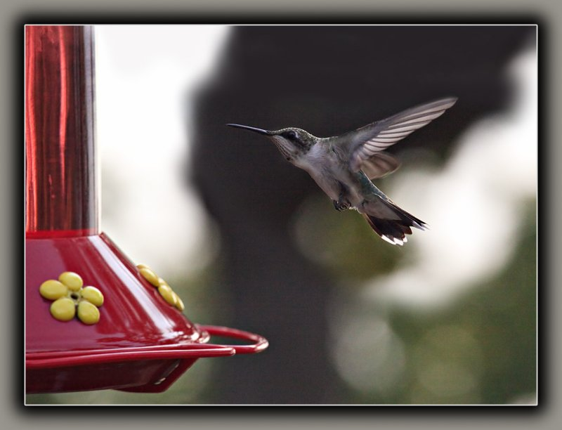Ruby-Throated Humming Bird (3)