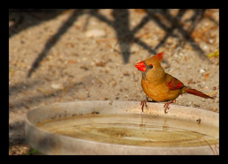 Northern Cardinal (female) - Birds of Florida