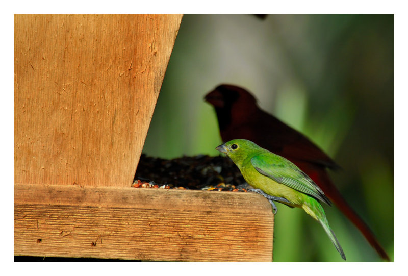 Painted Bunting (female) - Birds of Florida