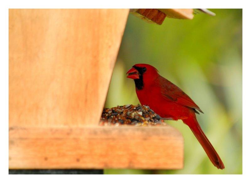 Northern Cardinal - Birds of Florida