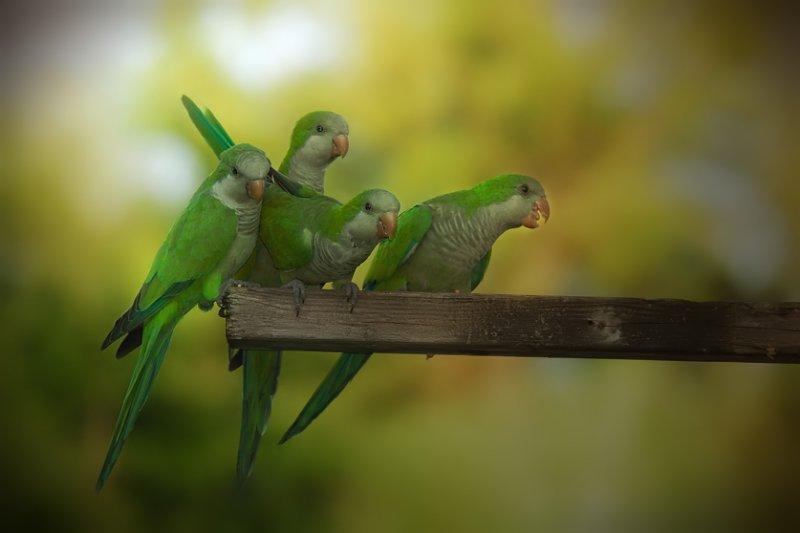 Monk Parakeet - Birds of Florida
