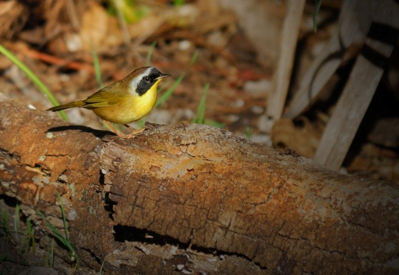 Common Yellowthroat (male)   - Birds of Florida