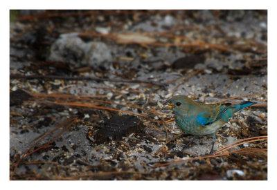 Indigo Bunting - Birds of Florida