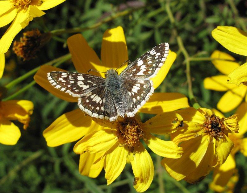 White Common Checkered Skipper (?) - Pyrgus albescens (?)