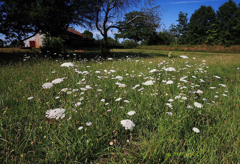 Queen Annes Lace Field
