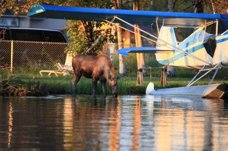 Moose at Lake Hood Inn - Anchorage