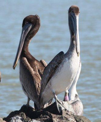 Brown Pelican AZ1
