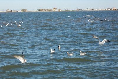 Gulls and Holly Beach