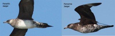 Parasitic - Pomarine Comparison