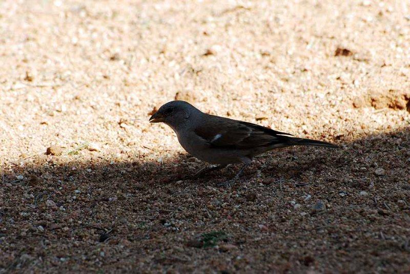 SOUTHERN GREY - HEADED SPARROW