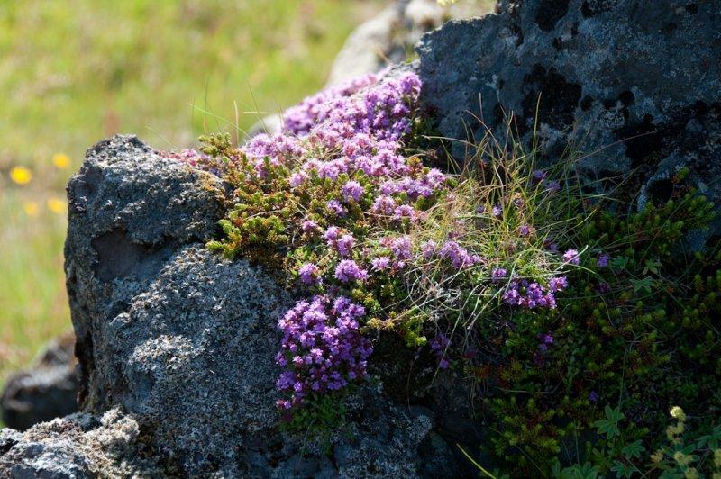 <B>Plants</B> <BR><FONT SIZE=2>Iceland - July 2009</FONT>