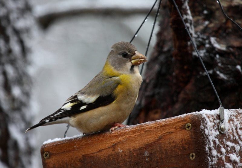 Evening Grosbeak 4047